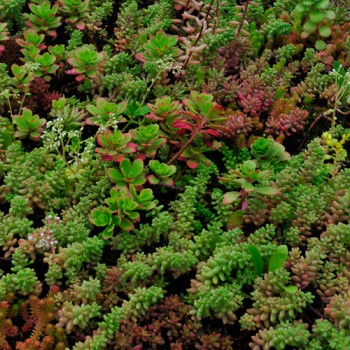 Dachstauden Sedum MIX ( 5 - 6 Arten)